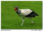 Title: King Vulture