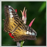 Title: Brown Clipper (Parthenos sylvia)