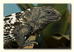 Title: Roatan Spiny-tailed Iguana
