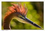Title: Goliath Heron + damselfly
