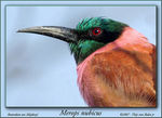 Title: Carmine Bee-eater Close-up