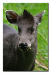 Title: Tufted Deer