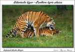 Title: Siberian Tigers in Love