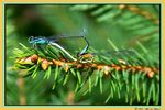 Title: Blue-tailed Damselfly