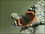 Title: Red Admiral on Lichens