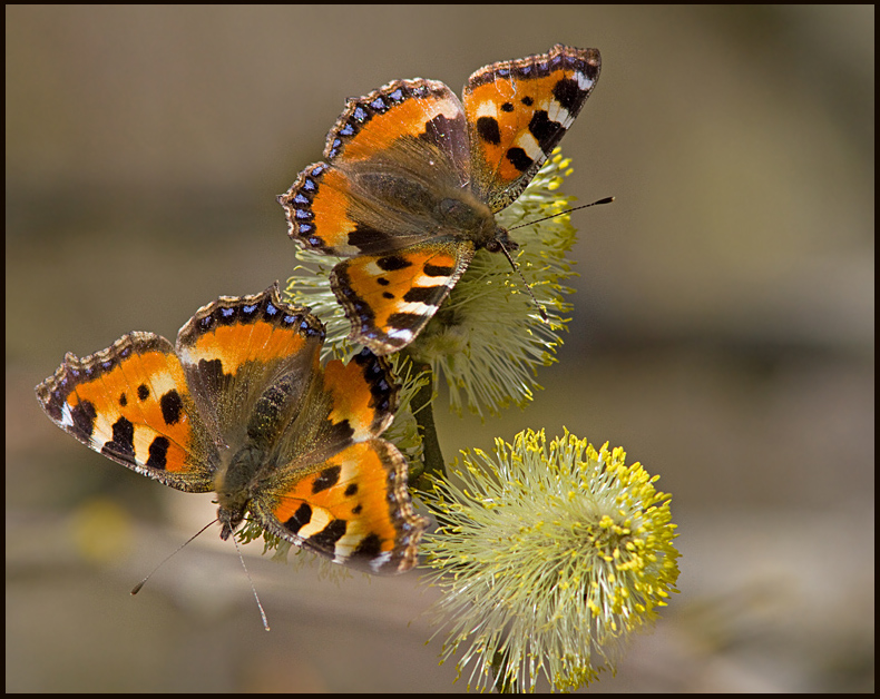 The Importance of Sallow