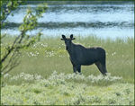 Title: Young Bull Elk
