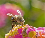 Title: White-banded Digger Bee