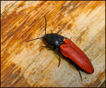 Title: 'Blood-red Click Beetle'