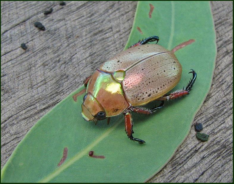 chinese beetle