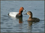 Title: A Pretty Pair of Pochards