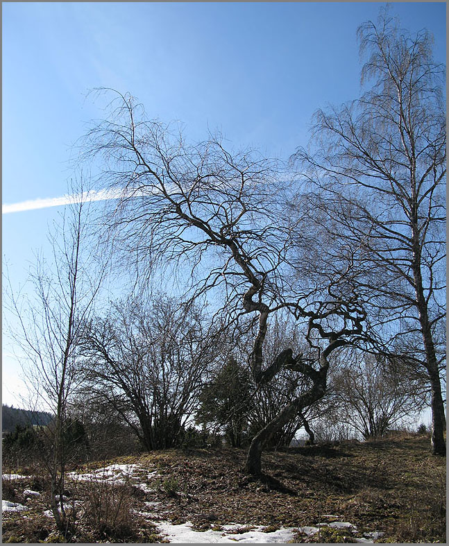 A Crooked Birch