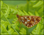 Title: Small Pearl-bordered Fritillary
