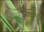 Title: Hairy Hawker Female