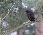 Title: Buzzard in the Pines