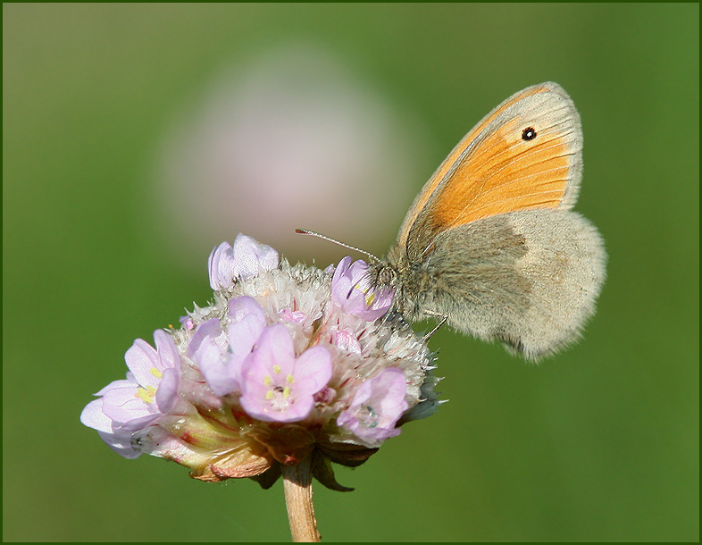 Hairy Hind-wing