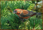 Title: Christmas Crossbill
