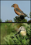 Title: Common Crossbill