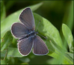 Title: Small Blue male