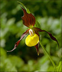 Title: Lady's Slipper