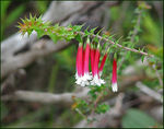 Title: Australian Fuchsia Heath