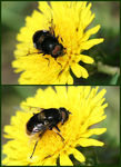 Title: Bumblebee-like Drone Fly