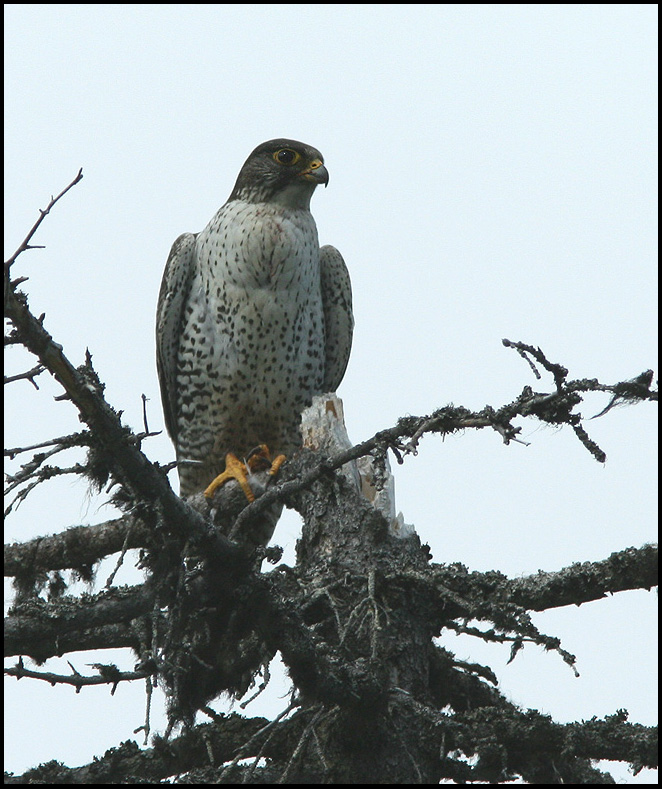 The World's Largest Falcon