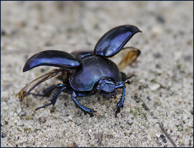 Dung Beetle Taking Off