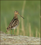 Title: Common Snipe at 7 am