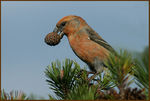Title: Happy Crossbill