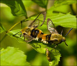 Title: Narrow-bordered Bee Hawk-moth
