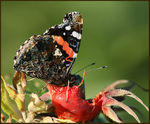 Title: Hippy Red Admiral