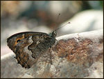 Title: Cyprus Grayling