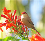 Title: Common, or St. Helena Waxbill