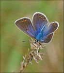 Title: Common Blue femaleCanon EOS  7D