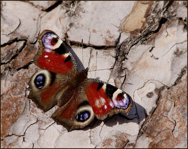 A November  Peacock Butterfly