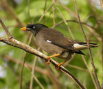 Title: Jungle Mynah
