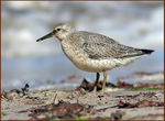 Title: Juvenile Red Knot