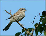 Title: Red-backed Shrike juv.