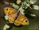 Title: Balearic Wall Brown female