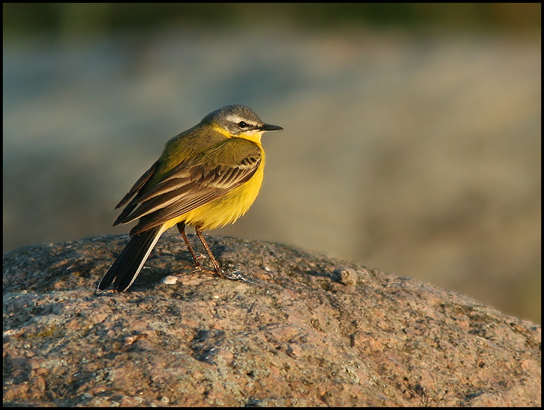Blue-headed Yellow Wagtail at 6.00am