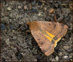Title: An Interesting Species of Noctuid Moth