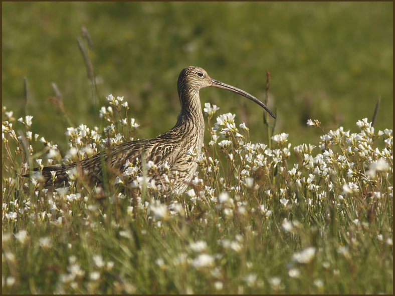Curlew in the Meadow