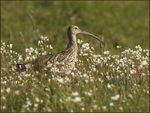 Title: Curlew in the Meadow