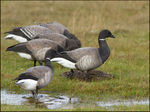 Title: Brent Goose