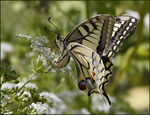 Title: Ovipositing Machaon