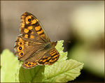 Title: Southern Speckled Wood