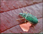 Title: Green Weevil Problems