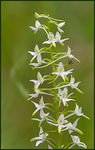 Title: Lesser Butterfly Orchid