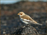 Title: Snow Bunting
